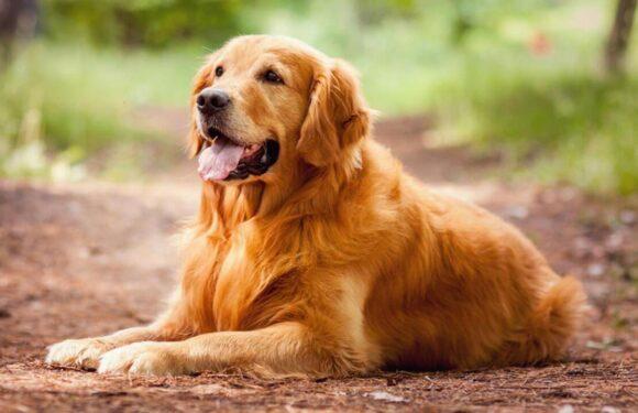 Adeta Bir Polis Köpeği Olan Golden Retriever